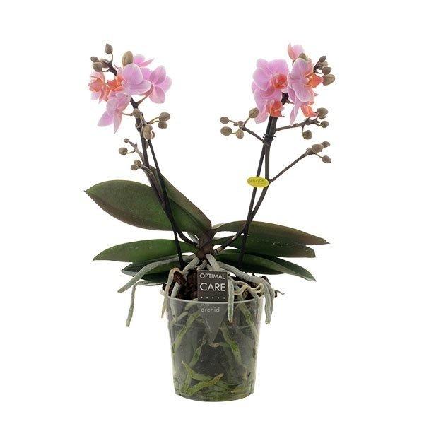 Phalaenopsis Santos zwei trieben