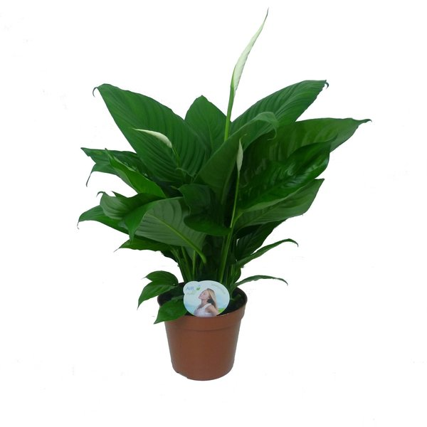 Spathiphyllum Lima - Air so Pure - luchtzuiverend