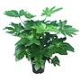 Fatsia Japonica - houseplant