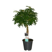 Schefflera Luseana - braided trunk pot 17 cm