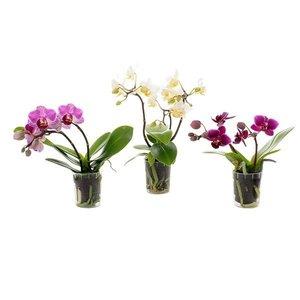 Phalaenopsis Thimbolo mini - 4 cm pot - 2 tak