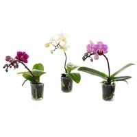 Phalaenopsis Thimbolo mini - 4 cm pot