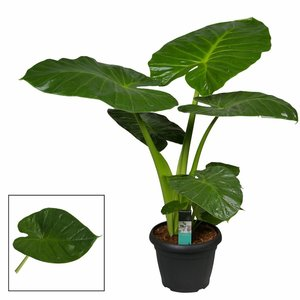 Alocasia Calidora - Elephant ear - pot 35 cm