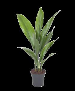 Elatior - Kwartjesplant