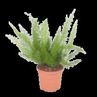 Asparagus Meyers - pot 21 cm