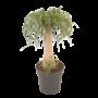 Beaucarnea  Recurvata - coffre droit