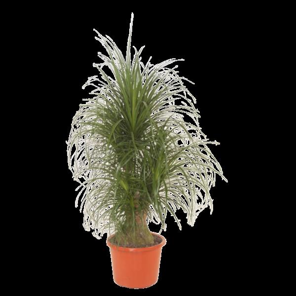 Beaucarnea  Recurvata - Branched X