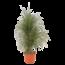 Beaucarnea  Recurvata - Verzweigt X