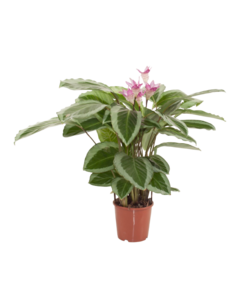 Bicajoux - Prayer plants