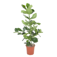 Clusia Rosea  - pot 24 cm
