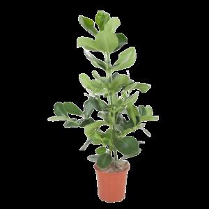 Clusia Pot de Rosea 24 cm