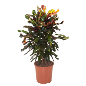 Croton Curly - variegatum