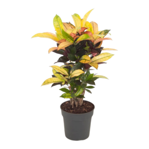 Croton Iceton - top quality