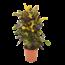 Croton Mammi verzweigte sich