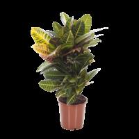 Croton Petra verzweikt