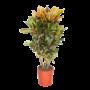 Croton Petra branched