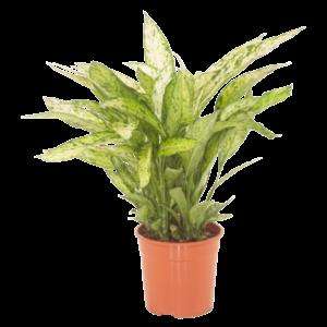 Dieffenbachia pot 27 cm