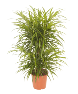 reflexa anita floor - Dragon tree, Century plant