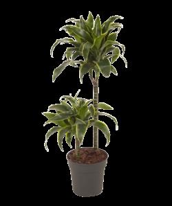 Fragrans Dorado - Dragon tree, Century plant