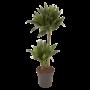 Dracaena Compacta - Joyau Vert