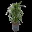Dracaena Janet Graig - Dragon tree, Century plant