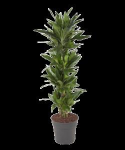 Janet Lind - Dragon tree, Century plant