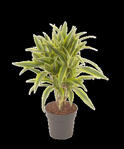 Lemon lime - Dragon tree, Century plant
