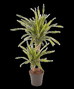 Riki - Dragon tree, Century plant