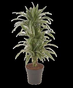 Fragans - Ulises - Dragon tree, Century plant