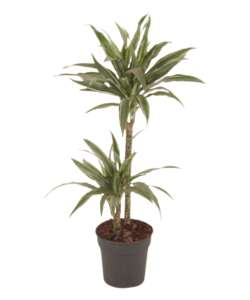 Fragans - Warneckei - Dragon tree, Century plant