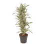 Dracaena Fragans - White Stripe