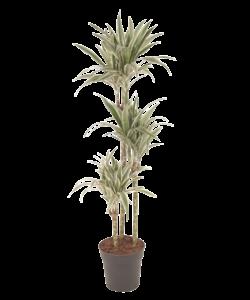 Fragans - White Stripe - Dragon tree, Century plant
