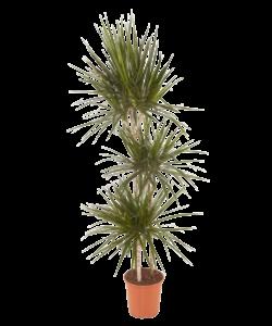 Marginata - Dragon tree, Century plant