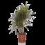 Dracaena Marginata vertakt - Dragon tree, Century plant