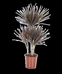 Marginata Magenta - Dragon tree, Century plant