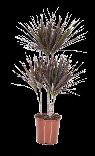 Dracaena Marginata Magenta Flora