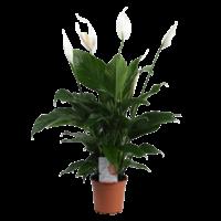 Spathiphyllum Sweet lauretta - Air so Pure pot 19 cm