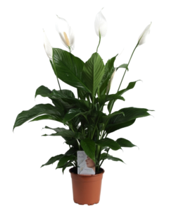Sweet lauretta - Air so Pure - Peace Lily