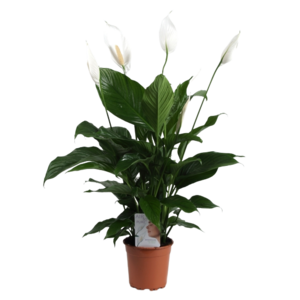 Spathiphyllum Sweet lauretta  - Air so Pure pot 19 cm
