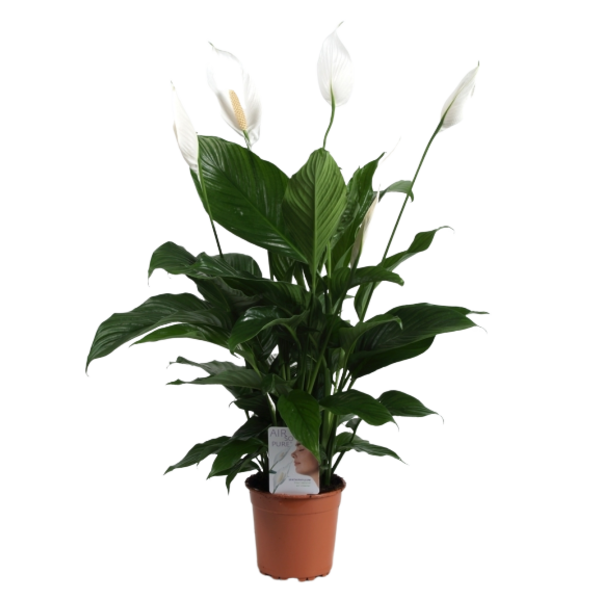 Spathiphyllum Sweet lauretta  - Air so Pure