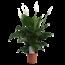 Spathiphyllum Sweet lauretta - Air so Pure