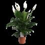 Spathiphyllum Süße Lauretta - Luft so rein Topf 19 cm