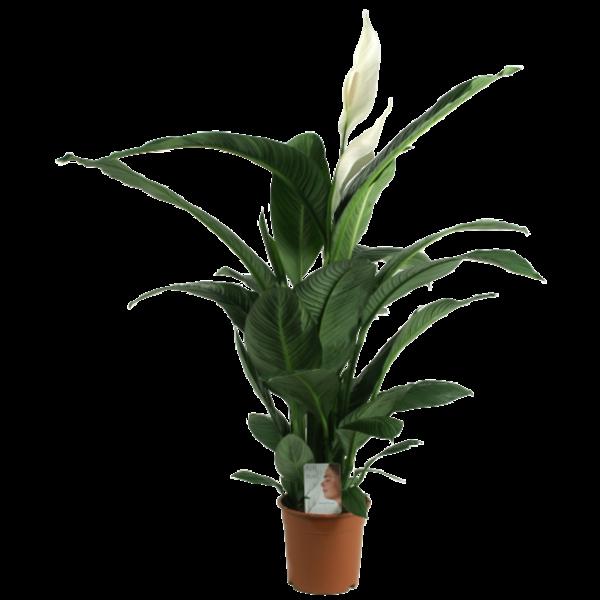 Spathiphyllum Sensation XXL - Luft so Pure Topf 24 cm