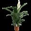 Spathiphyllum Sensation XXL - Air so Pure pot 24 cm