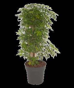 Arboricola Luseana