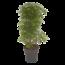 Schefflera Arboricola Luseana - Umbrella tree