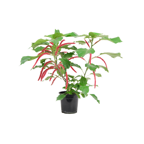 Acalypha hispida - pot 19 cm