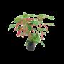 Acalypha Hispida - Topf 19 cm