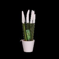 Sansevieria Cylindrica VELVET TOUCHZ®