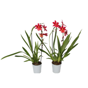 Orchideeën Cambria rote Schleife